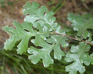 Quercus lobata - Leaves of Quercus lobata