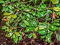 Quercus oblongata in Hackfalls Arboretum (3).jpg