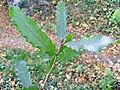 Quercus trojana leaf.JPG