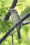 Radde's Warbler - Thailand S4E1407 (18645038584) (2).jpg