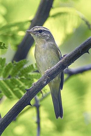 Radde's warbler - Image: Radde's Warbler Thailand S4E1407 (18645038584) (2)