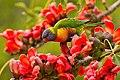 Rainbow Lorikeet with Red Silk Cotton Flowers - AndrewMercer - IMG15403.jpg