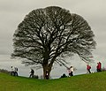 Rambling Oak Tree, Giant's Ring, Belfast - geograph.org.uk - 701210.jpg