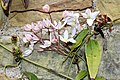 Ranunculales - Clematis armandii - 5.jpg