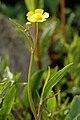 Ranunculus.flammula2.-.lindsey.jpg