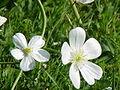 Ranunculus aconitifolius1.jpg