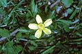 Ranunculus hispidus var nitidus NRCS-1.jpg