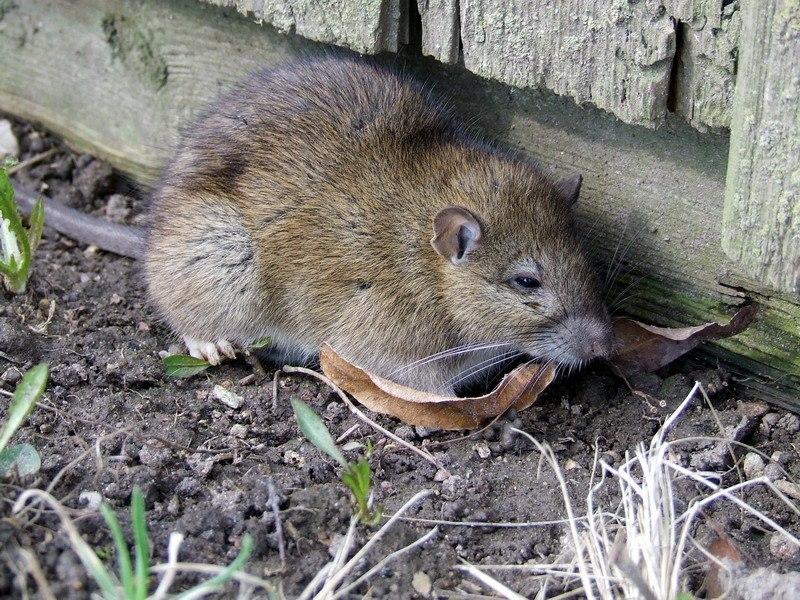 Rattus norvegicus 2
