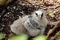 Red-billed tropicbird (Phaethon aethereus mesonauta) chick.jpg