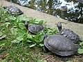 Red-eared slider, Nowe Zoo Poznań 2.JPG