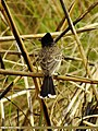 Red-vented Bulbul (Pycnonotus cafer) (15707362229).jpg