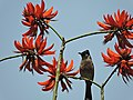 Red-vented bulbul, near Sukhna Lake ,Chandigarh, India 04.JPG