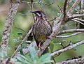 Red-wattlebird.jpg