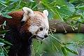 Red Panda (36790359874).jpg