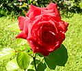 Red Rose flowers 03.jpg