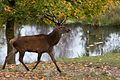 Red deer stag (Cervus elaphus) in Sweden 2010-10-13 001.jpg