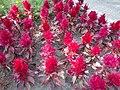 Red flower bed, 2020 Marcali.jpg