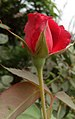 Red rosa at Rajbiraj, Saptari, Nepal (2).jpg