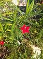 Red star glory flower Ipomoea quamoclit by Sankar.jpg