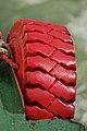 Red tire (58910441).jpg