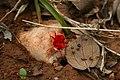Red velvet mite Trombidiidae from kadapa Andhra Pradesh IMG 2429.jpg