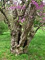 Redbud Tree, Elizabeth Park, West Hartford, CT - May 12, 2015.jpg