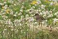 Redshank (Tringa totanus), Haroldswick - geograph.org.uk - 1588668.jpg
