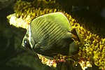 Redtail butterflyfish, Baltimore Aquarium.jpg