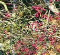 Redwing in Hawthorn - Flickr - gailhampshire.jpg