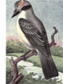 Reed-gray-kingbird.png