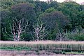 Reedbed and trees, Lepe marsh - geograph.org.uk - 285821.jpg