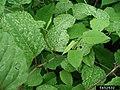 Reynoutria japonica leaf (09).jpg