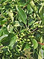 Rhamnus cathartica. Sangreru negru.jpg