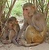 Rhesus Macaques - cropped.jpg