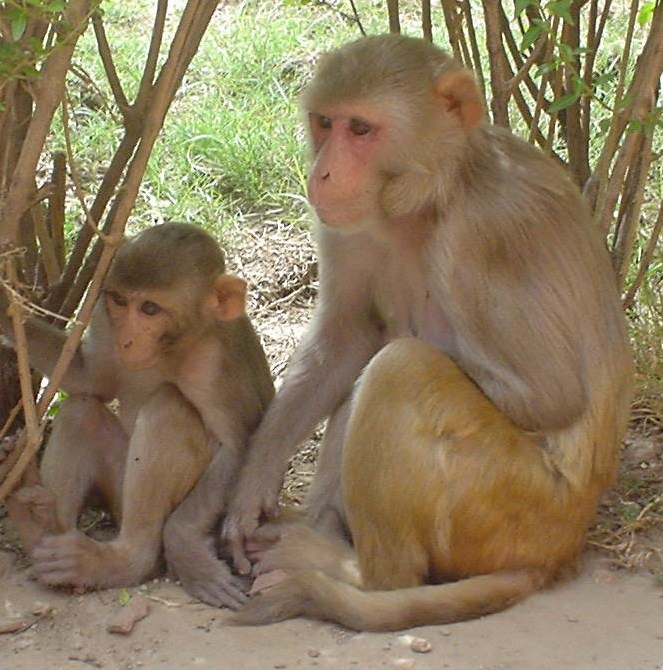 Rhesus Macaques - cropped