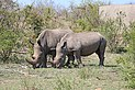 Rhinoceros in Kruger National Park 01.jpg