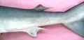 Rhizoprionodon acutus 03.png