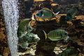 Rhodes Aquarium - Sciaena umbra and other fishes.jpg