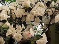 RhododendronSimsiiFlowers.jpg