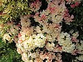 Rhododendron Golden Torch.jpg