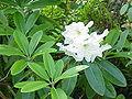 Rhododendron fortunei0.jpg