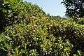 Rhododendron hirsutum kz02.jpg