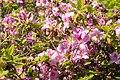 Rhododendron macrosepalum 03.jpg