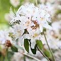 Rhododendron yunnanense-IMG 6701.JPG