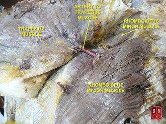 Rhomboid major muscle - Rhomboideus major muscle