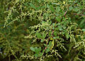 Rhus mysorensis (Mysore Sumac) W3 IMG 3601.jpg