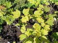 Ribes petraeum - Botanical Garden in Kaisaniemi, Helsinki - DSC03494.JPG