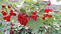 Ribes rubrum, Armenia.jpg