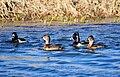 Ring-Necked Ducks on Seedskadee National Wildlife Refuge (26212140485).jpg