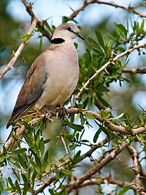 Ring-necked-Dove-Masai-Mara.jpg
